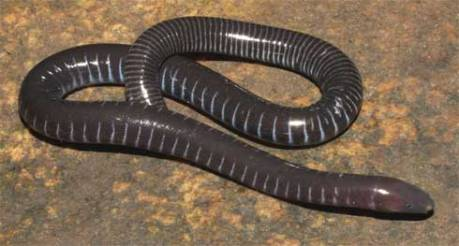 caecilian, Natural History Museum via scientificamerican.com