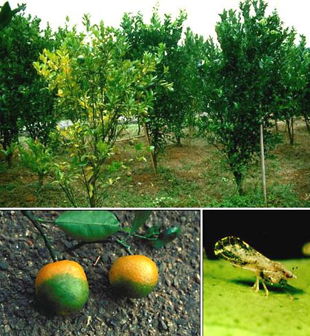 Citrus greening symptoms and vector_via APSnet