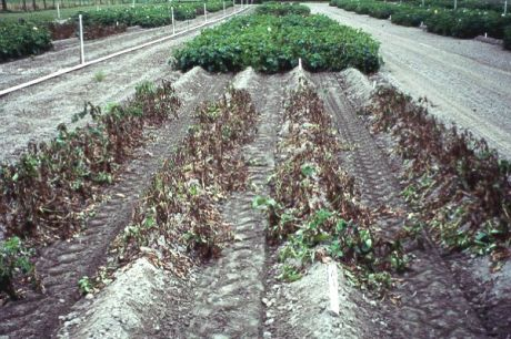 Potato with late blight (foreground); Potato treated with fungicides (background)