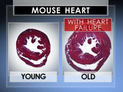 Mouse heart1_Via CBS