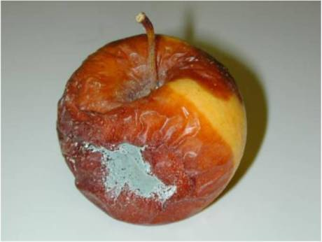 apple with Penicillium expansum