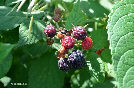 rubus_occidentalis1_katelynwillyerd