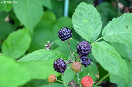 rubus_occidentalis2_katelynwillyerd