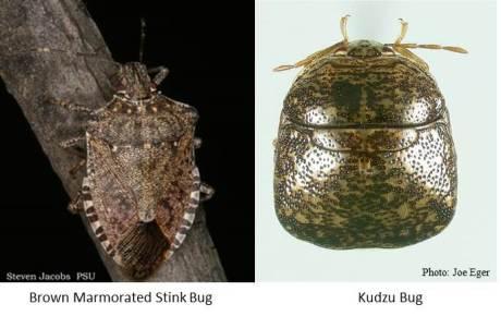 BMSB versus Kudzu Bug
